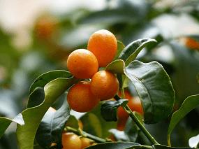 Rezept Kumquats als Geschenkidee