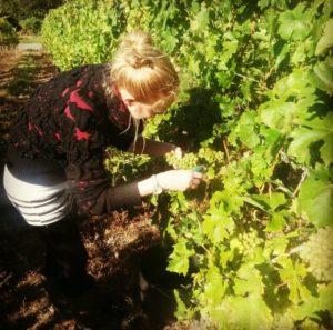 Sommelière Jennifer Obst bei der Weinlese