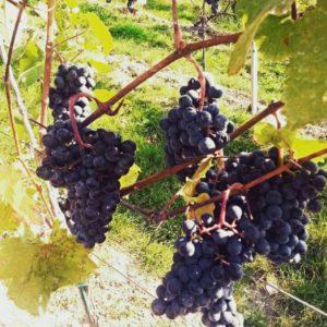 Die reifen Trauben warten auf die Weinlese.